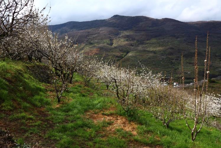 Valle del Jerte flowering cherries