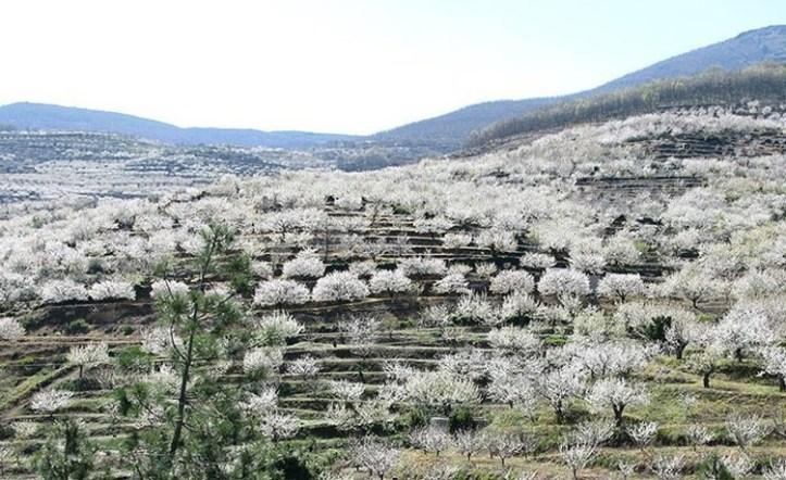 valle del jerte cherry trees in bloom in spring