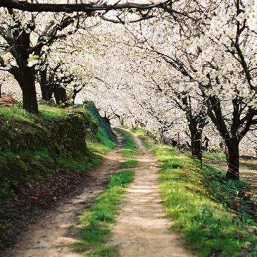 valle del jerte blooming cherry trees hanami in spain