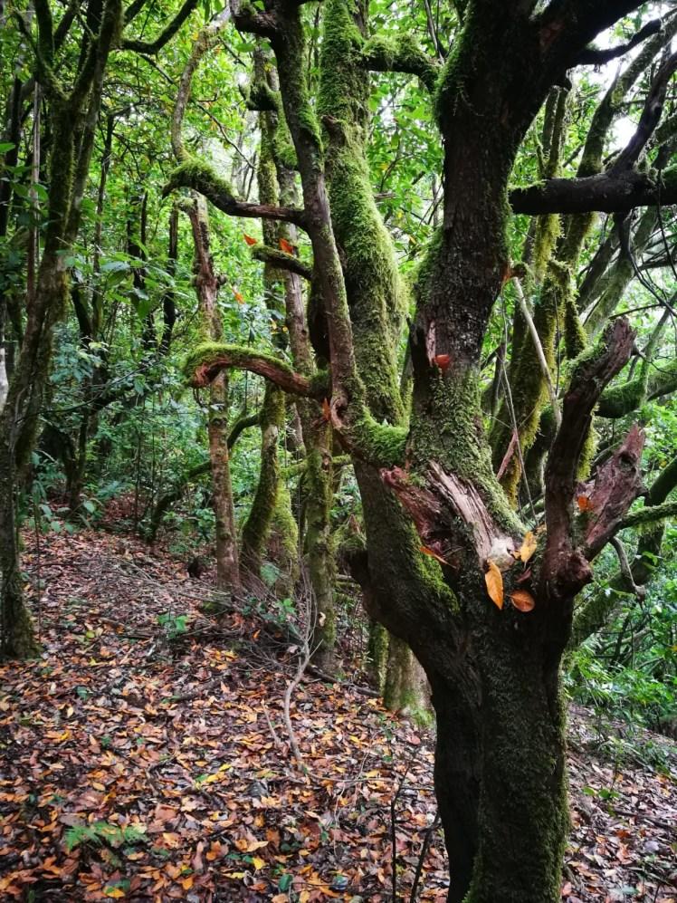 moss covered trees in la gomera Garajonay National Park
