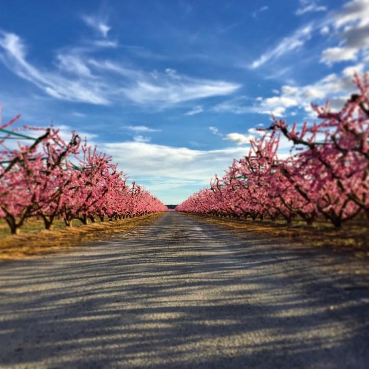 aitona spain peach tree hanami