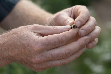 Sam Droege holds a male bumble bee. Male bees do not sting.