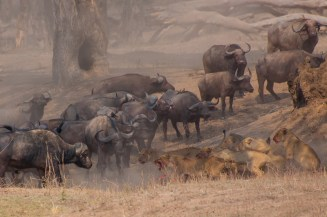 Lions vs Buffalo. After having to climb a tree to escape the action from a herd of buffalo and a pride of lions in Zimbabwe, Nancy shot this photo of the action.