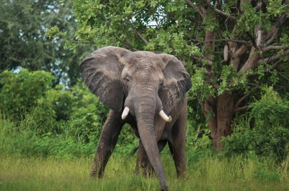 A beautiful wild elephant in Zambia.