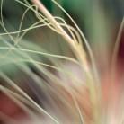 Bromeliad- archival inkjet print on cotton rag paper Image courtesy of Celia Pearson
