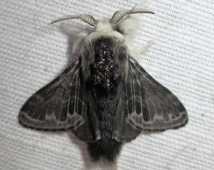 7673 --- Tolype laricis --- Larch Tolype Moth