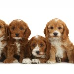 1 Cockapoo Puppies For Sale In Florida Uptown Puppies