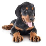 1 Doberman Pinscher Puppies For Sale In Dallas Tx