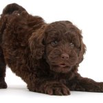 1 Goldendoodle Puppies For Sale By Uptown Puppies