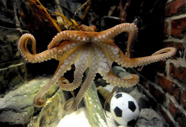 paul-octopus