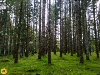 Pinède à Bugeat - Ruralistan tour - Uralistan
