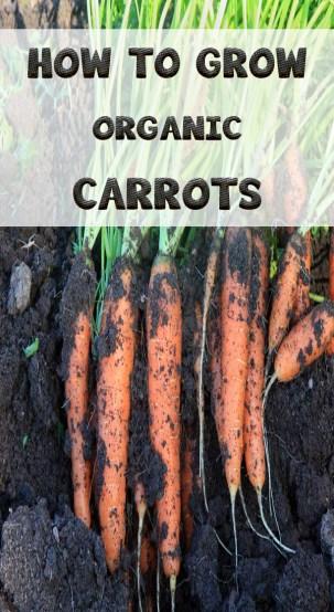 HOW TO GROW ORGANIC CARROTS 3