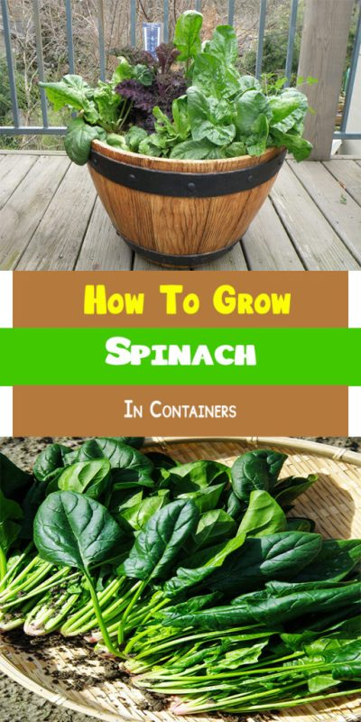 How To Grow Spinach In Containers 1
