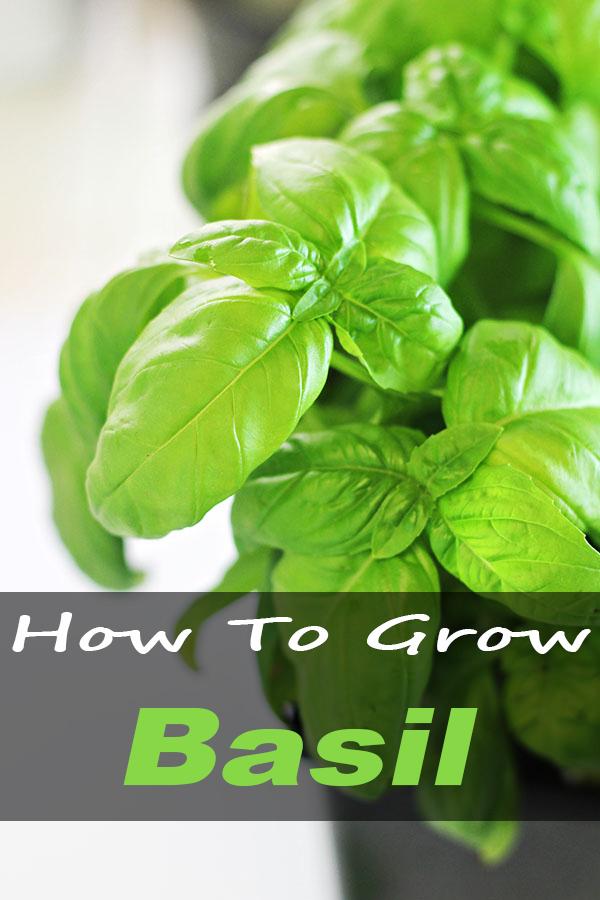 How To Grow Basil 2