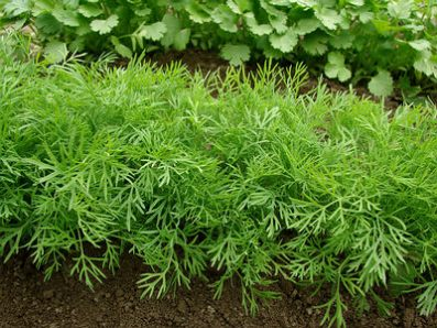 dill-growing-
