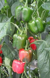 Planning-for-success-in-greenhouse-vegetable-operations