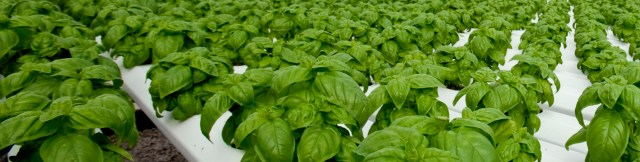 greenhouse-basil-production