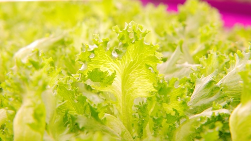 The farm is producing 10,000 heads of lettuce per day.