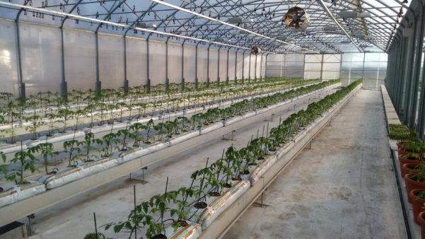 Auroras-tomato-greenhouse