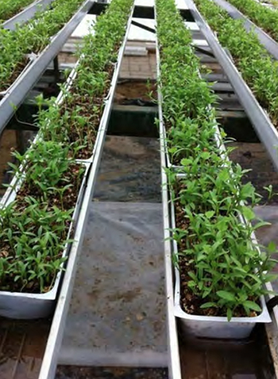 The successful grower of greens and microgreens has to provide his customers with what they want, but also supply them with new plants to sample. Photo courtesy of Jiffy Products of America.