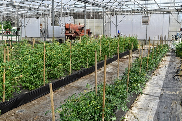This Michigan Ornamental Plant Grower Is Producing Cherry Tomatoes In  Flower Bulb Crates Filled With A Commercial Substrate.