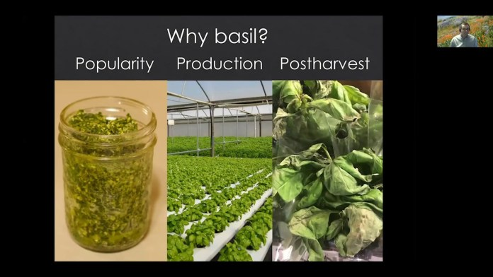 Indoor Ag Sci Cafe – Could lighting improve the flavor of basil?