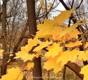 Autumn Leaves: Gold | © Life Through the Kitchen Window.com