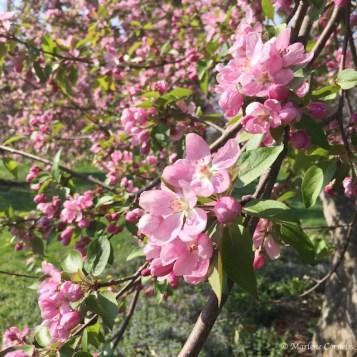 Spring Blossoms - May 9, 2015   © Marlene Cornelis