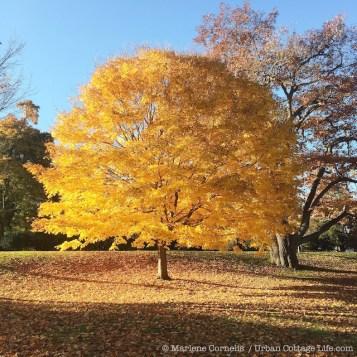 Autumn Gold 2015   © Marlene Cornelis / Urban Cottage Life.com