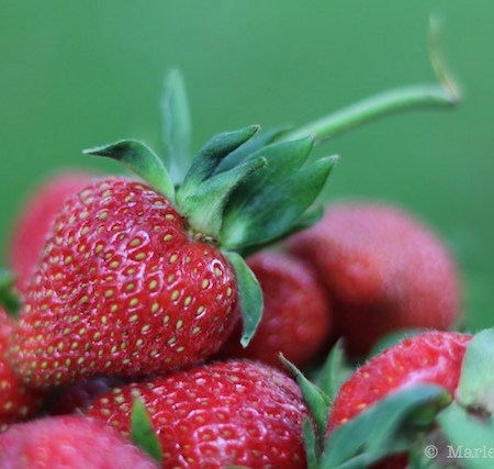 Fresh Local Strawberries |© UrbanCottageLife.com
