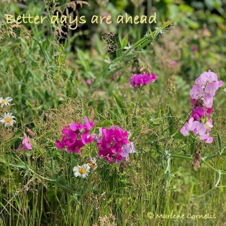 "Light and dark pink snapdragons and yellow daisies growing in the grass along a Northern Ontario roadside. The image says ""Better days are ahead."""