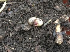 Unwanted Japanese bettle larva.
