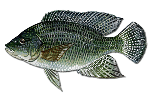 the blue tilapia
