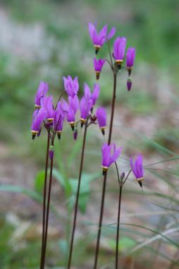 The high stems of a plant wich looks like a Cyclaam ,Dodecatheon media 'Aphrodite', or Shooting Star.