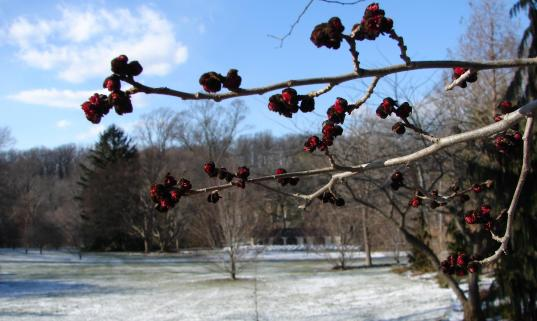 The almost black blossom of Parrotia persica, Persian ironwood.