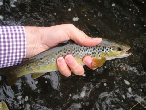 Small Trout From the River kelvin