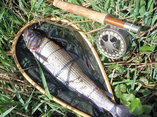 Grayling on the bank