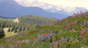 Wildflower carpeted landscape of Vail Pass, Colorado