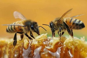 getty-bees-honey