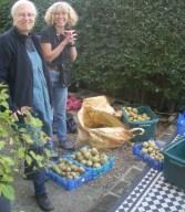Sep 2010: Harvesting street pears N19