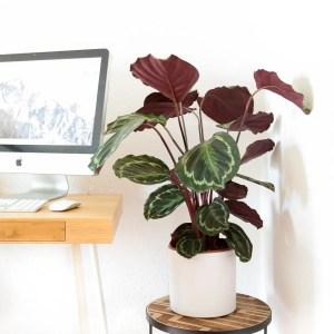 Calathea veitchiana medallion em vaso Urban Jungle no escritório