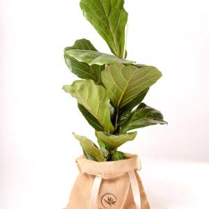 Ficus lirata Urban Jungle comprar