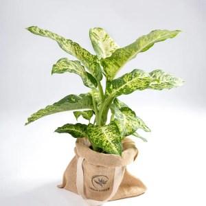 Dieffenbachia-planta comigo ninguem pode urban jungle