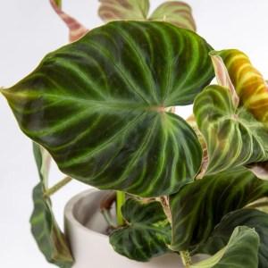 Philodendron verrucosum-1-2