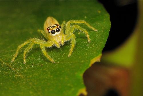 poisonous toilet seat spider