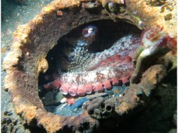 Giant Pacific Octopus in some junk