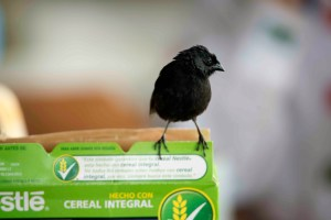 Galapagos finch on a cereal box (Photo by A.P. Hendry, 2014)