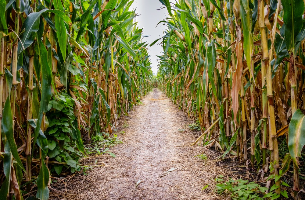 Pop-Up Corn Maze