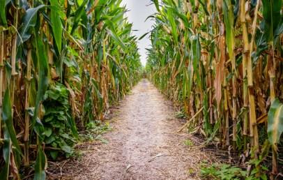 Pop-Up Corn Maze