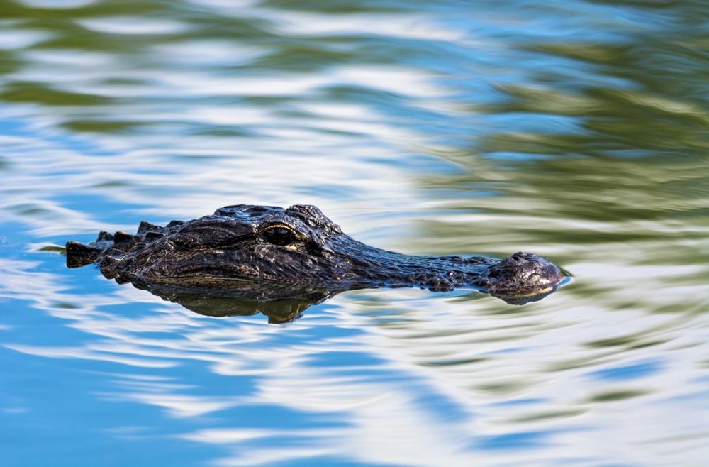 humboldt park alligator
